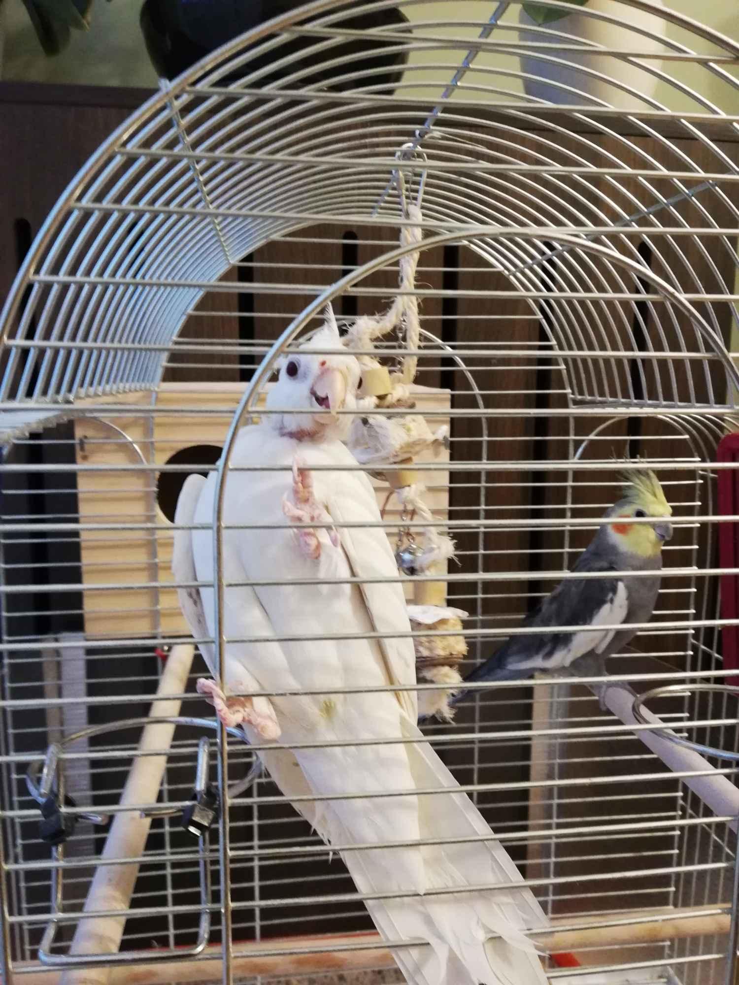 Papugi Nimfy Para Nowa Huta - zdjęcie 3