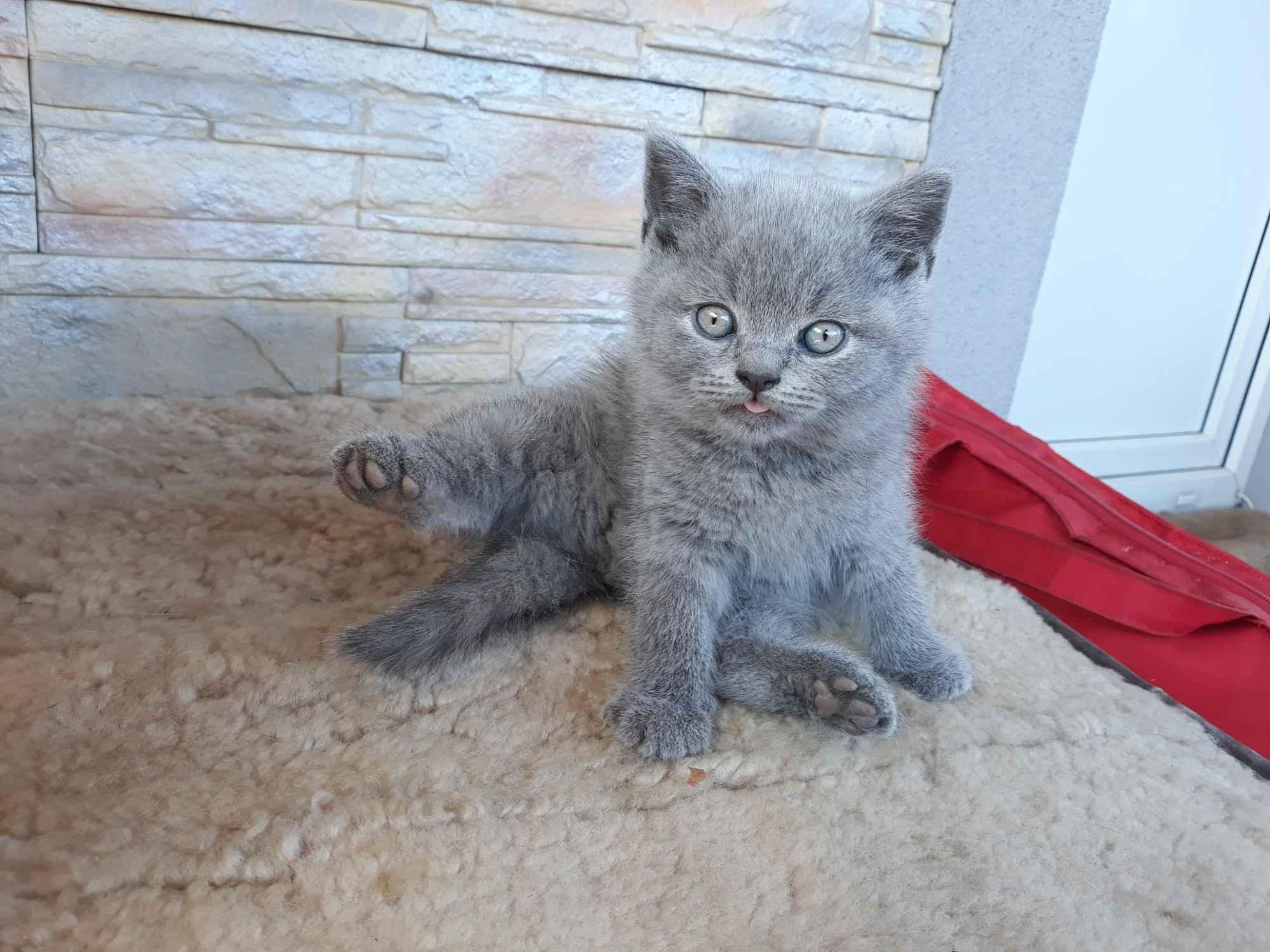 Oddam kotki brytyjskie Kazimierza Wielka - zdjęcie 1