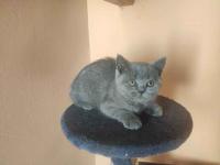 Kot brytyjski Gniewczyna Łańcucka - zdjęcie 1
