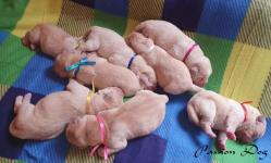 Labrador biszkoptowe szczenięta ZKwP/FCI Chotów - zdjęcie 7