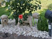 Golden Retriever Limanowa - zdjęcie 8
