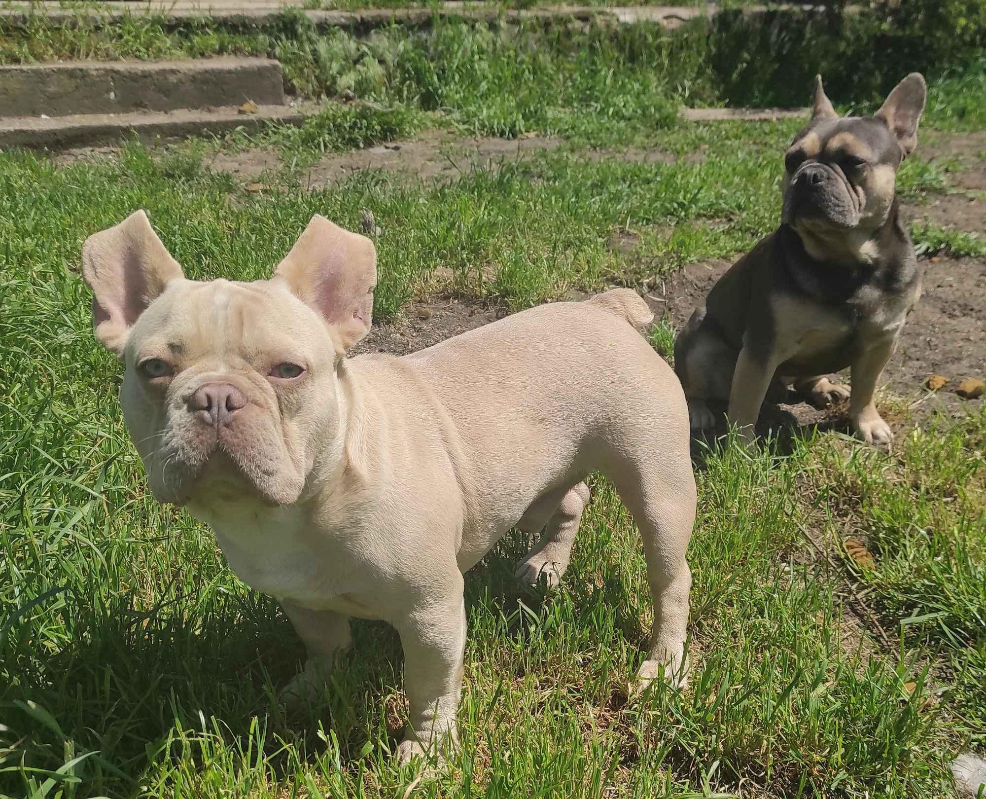 Buldog francuski pies Jędrzejów - zdjęcie 6