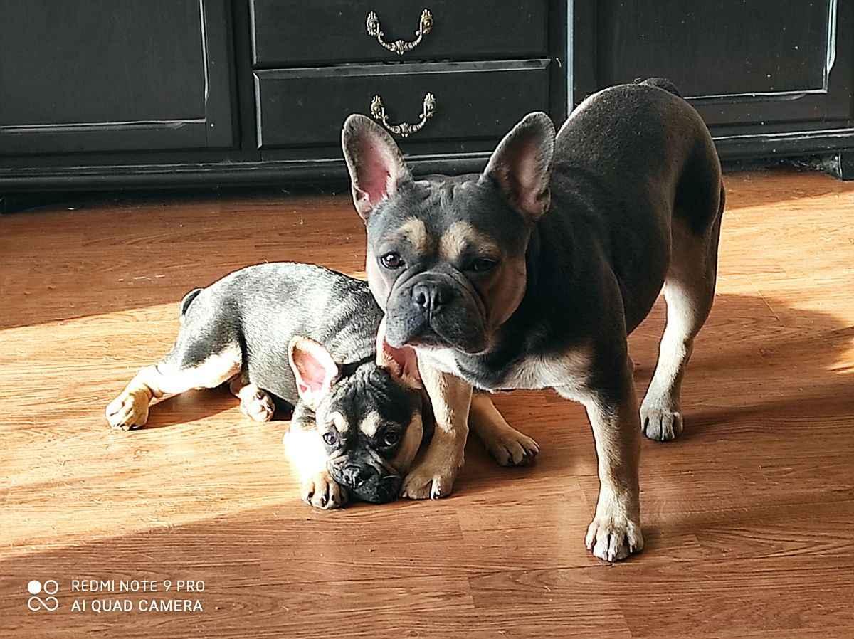 Buldog francuski pies Jędrzejów - zdjęcie 7