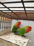 Sprzedam papugi Kielce - zdjęcie 5
