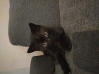Kot brytyjski Grudziądz - zdjęcie 4