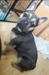 Buldog francuski pies Jędrzejów - zdjęcie 2