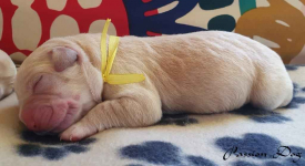 Labrador biszkoptowe szczenięta ZKwP/FCI Chotów - zdjęcie 2