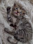 Oddam małe kotki Pszów - zdjęcie 3