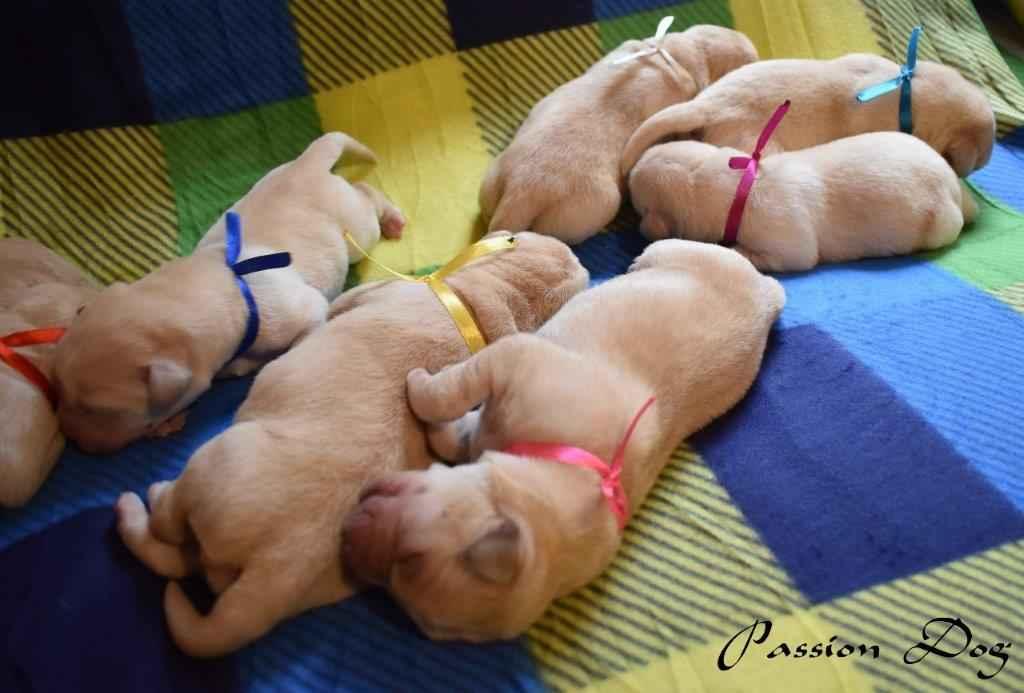 Labrador biszkoptowe szczenięta ZKwP/FCI Chotów - zdjęcie 10