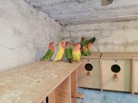 Sprzedam papugi Kielce - zdjęcie 7