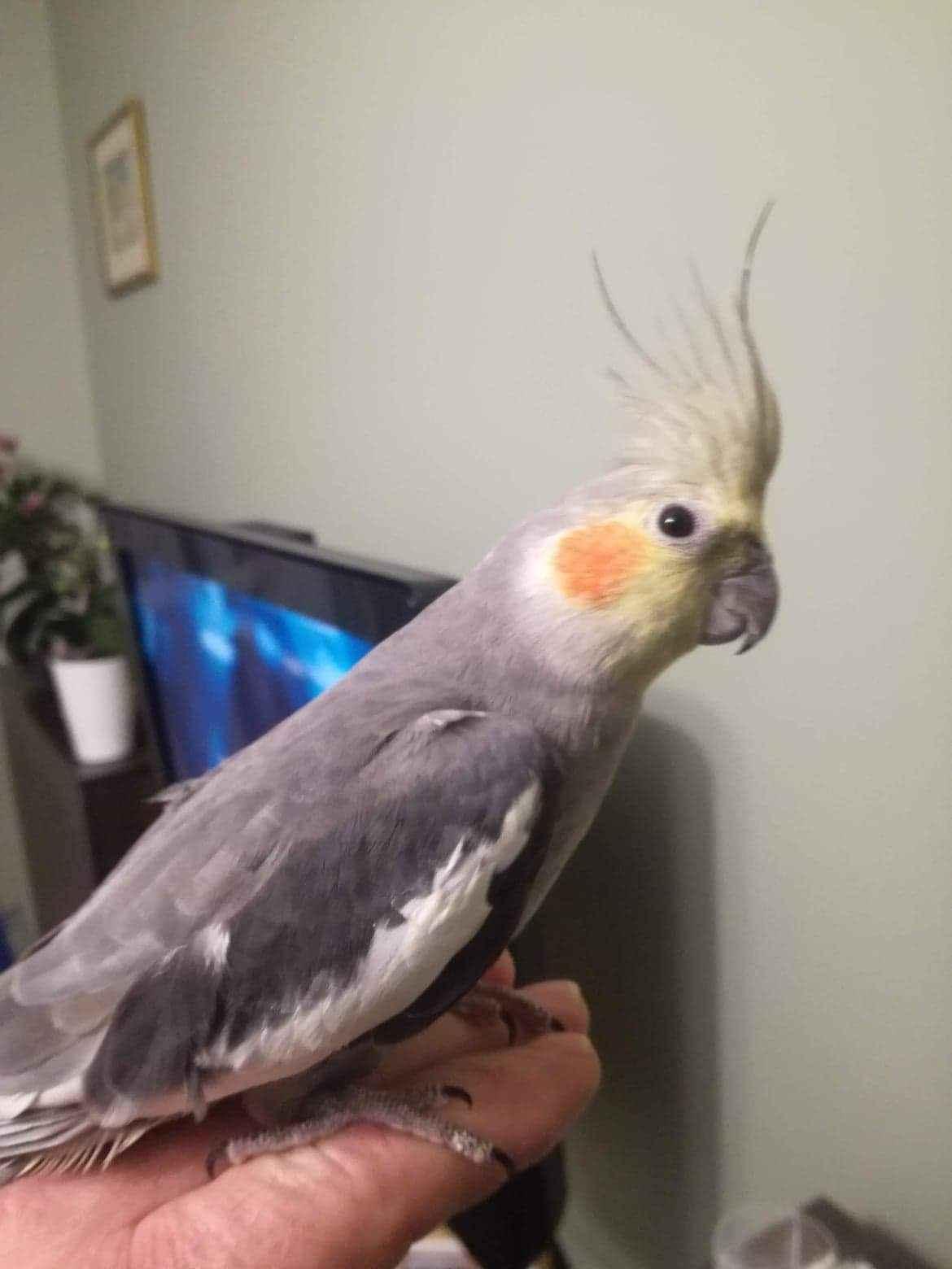 Papugi Nimfy Para Nowa Huta - zdjęcie 5