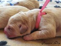 Labrador biszkoptowe szczenięta ZKwP/FCI Chotów - zdjęcie 4