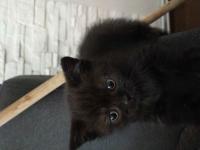 Kot brytyjski Grudziądz - zdjęcie 2