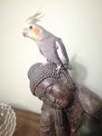 Papugi Nimfy Para Nowa Huta - zdjęcie 6