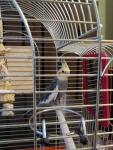 Papugi Nimfy Para Nowa Huta - zdjęcie 2
