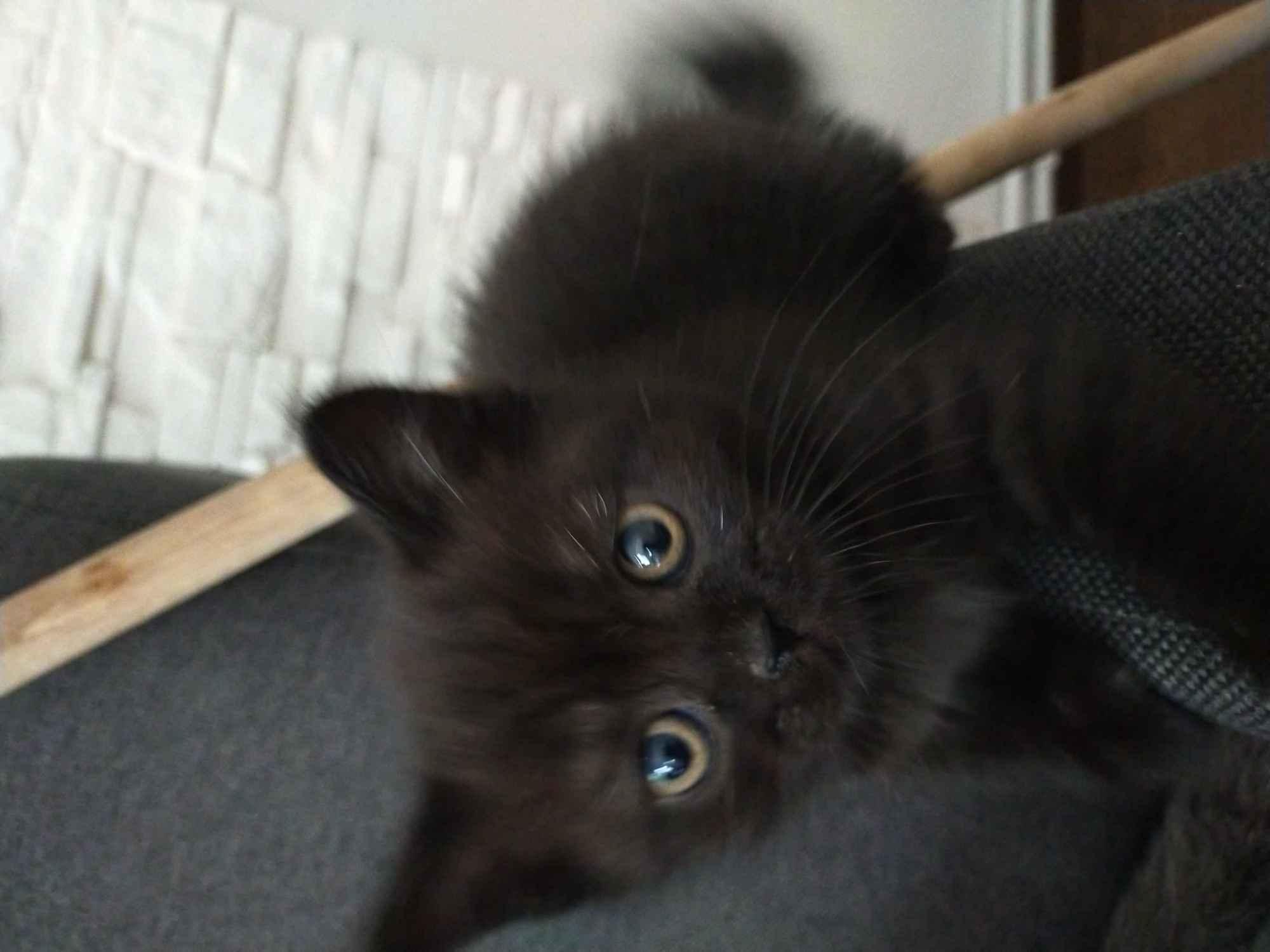 Kot brytyjski Grudziądz - zdjęcie 1