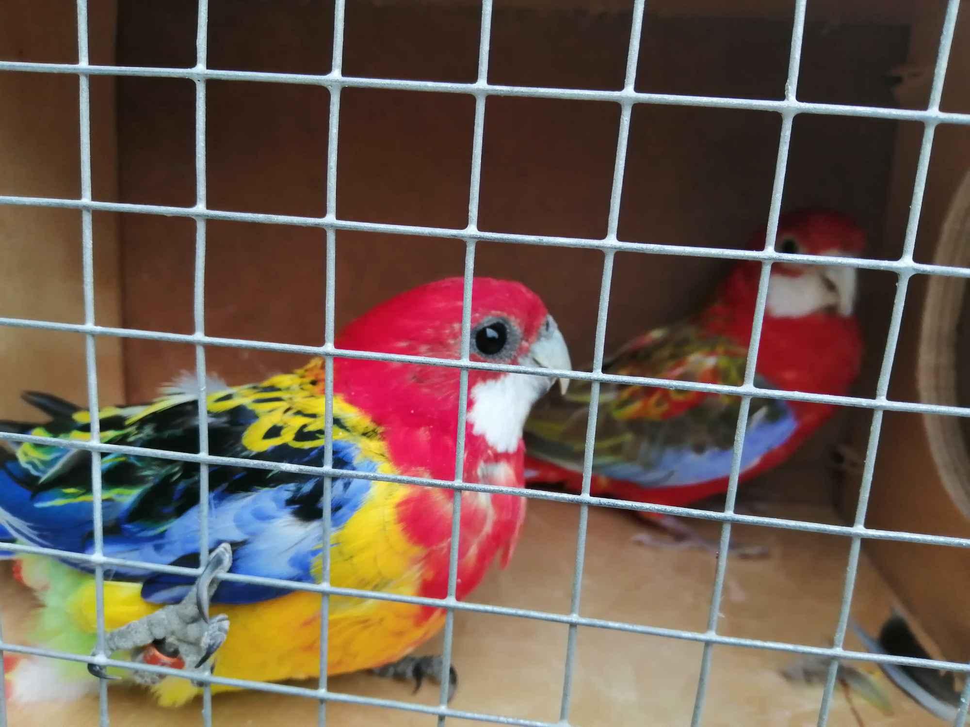 Sprzedam papugi Kielce - zdjęcie 3