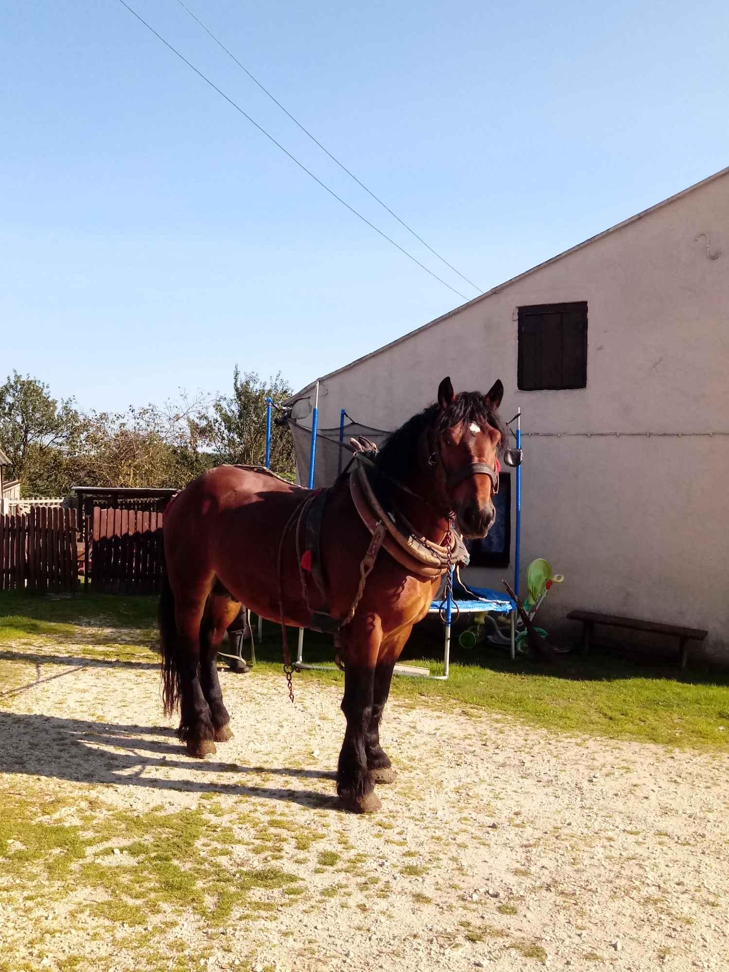 Sprzedam konia Kielce - zdjęcie 5