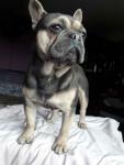 Buldog francuski pies Jędrzejów - zdjęcie 8