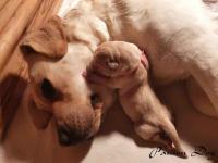 Labrador biszkoptowe szczenięta ZKwP/FCI Chotów - zdjęcie 5