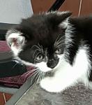 Oddam kotki Mrągowo - zdjęcie 2