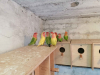 Sprzedam papugi Kielce - zdjęcie 6