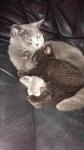 Kotki brytyjskie Grudziądz - zdjęcie 6