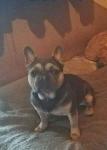 Buldog francuski pies Jędrzejów - zdjęcie 5