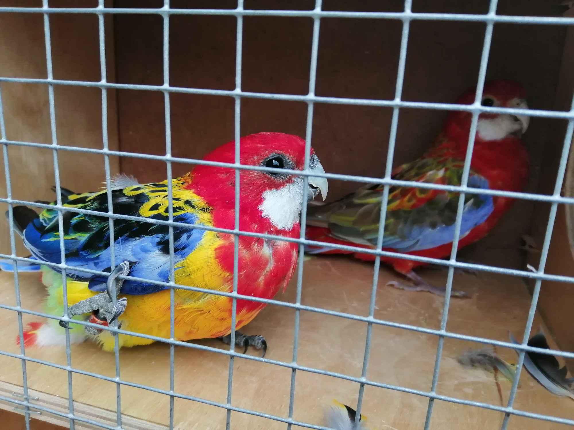Sprzedam papugi Kielce - zdjęcie 2