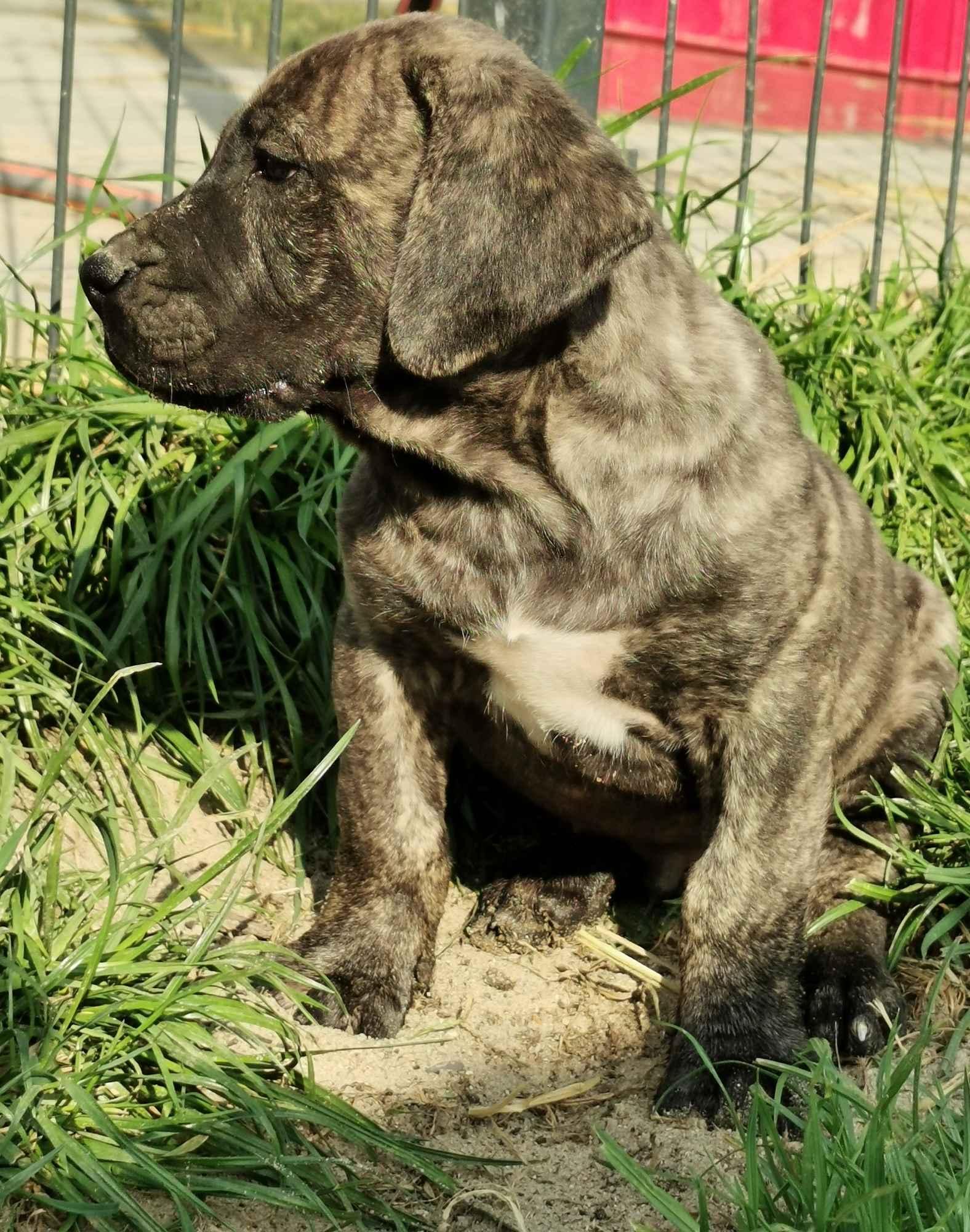 Presa Canario / Dogo Canario Płońsk - zdjęcie 3