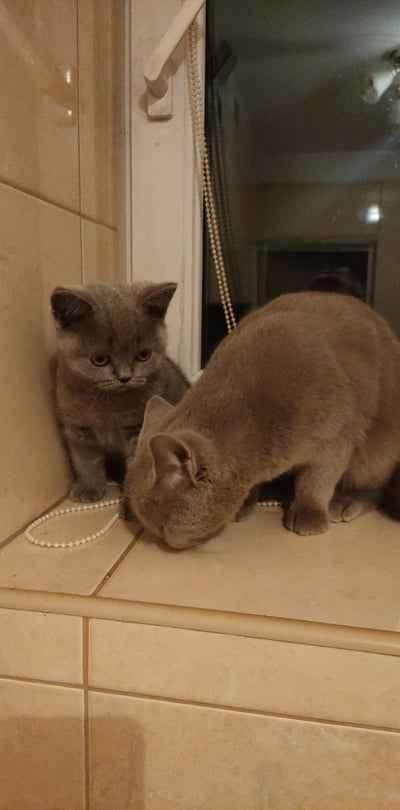 Kot brytyjski Gniewczyna Łańcucka - zdjęcie 3