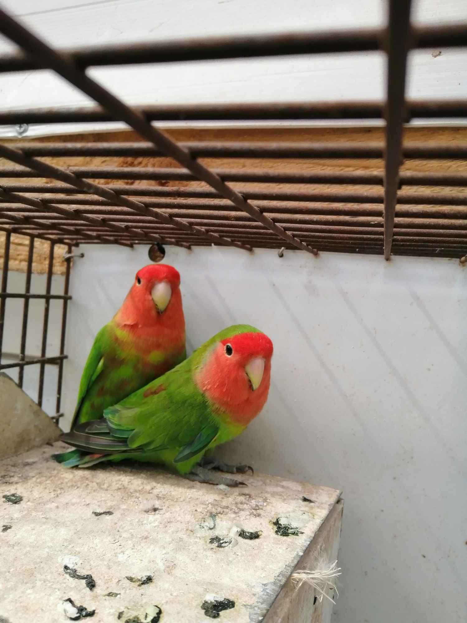 Sprzedam papugi Kielce - zdjęcie 4