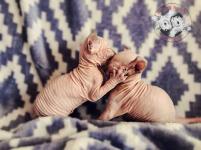 Koty Canadian Sphynks, koty elfy sprzedam Kielce - zdjęcie 1