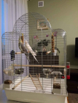Papugi Nimfy Para Nowa Huta - zdjęcie 7