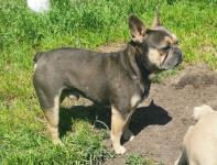 Buldog francuski pies Jędrzejów - zdjęcie 1