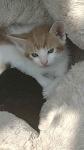 Oddam kotki Mrągowo - zdjęcie 4