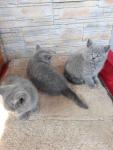 Oddam kotki brytyjskie Kazimierza Wielka - zdjęcie 4