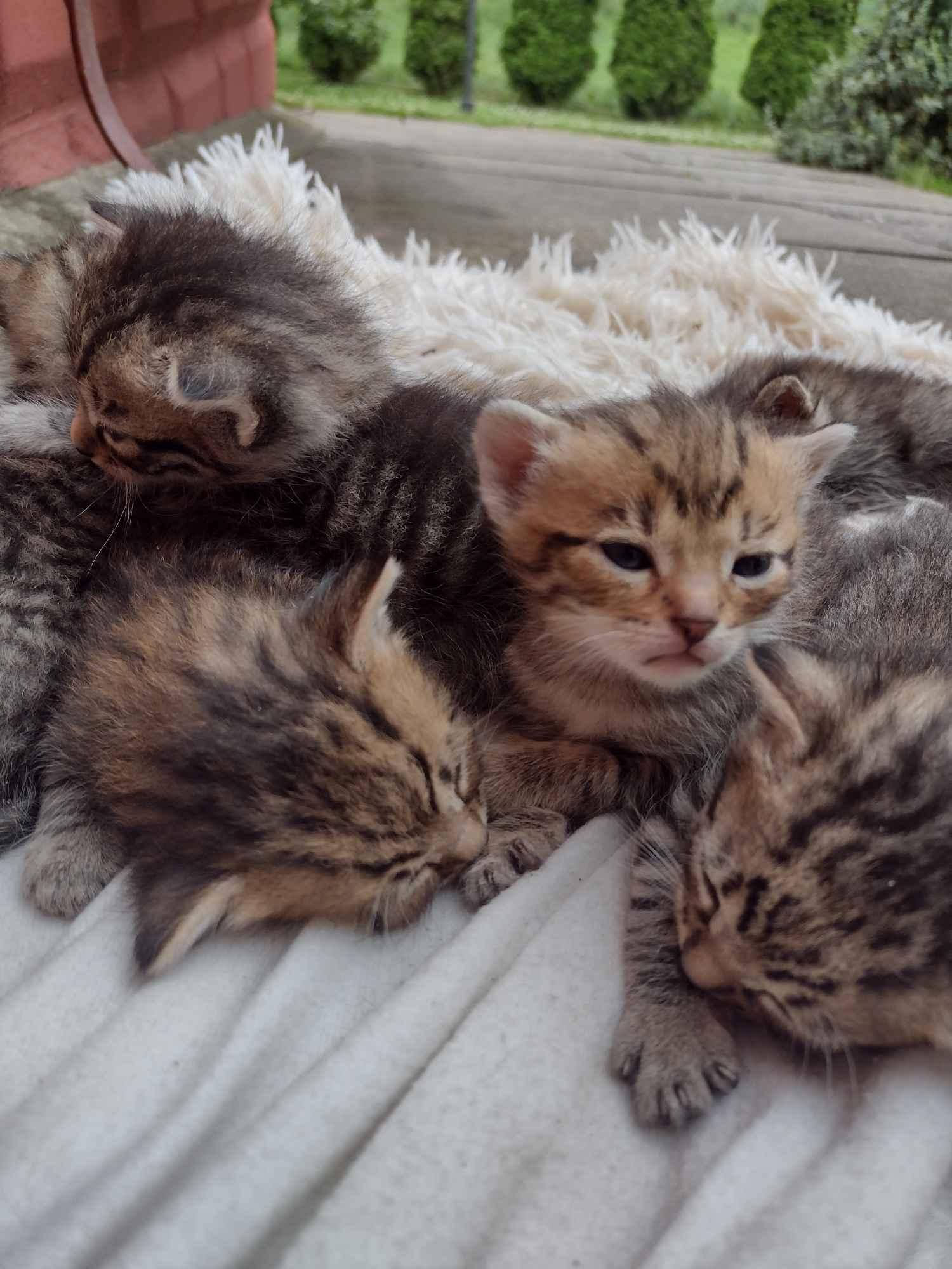 Oddam małe kotki Pszów - zdjęcie 1