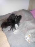 Kot brytyjski Grudziądz - zdjęcie 5