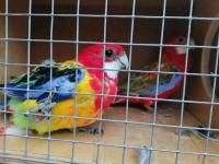 Sprzedam papugi Kielce - zdjęcie 1