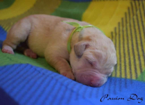 Labrador biszkoptowe szczenięta ZKwP/FCI Chotów - zdjęcie 8