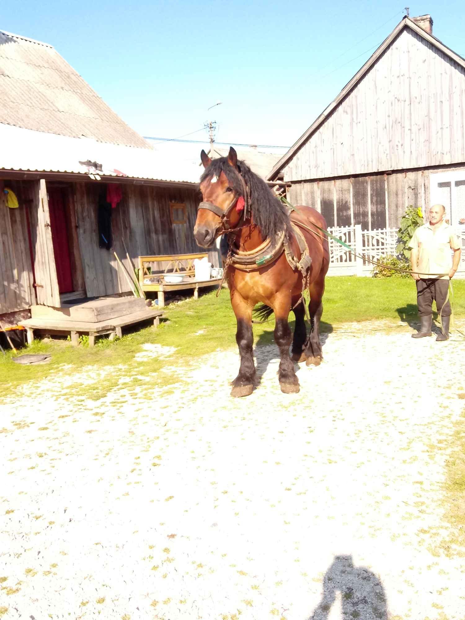 Sprzedam konia Kielce - zdjęcie 2